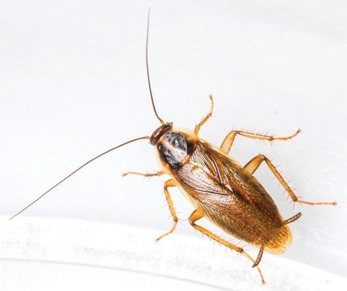 karaluchy w mieszkaniu z wielkiej plyty - karaluch prusak
