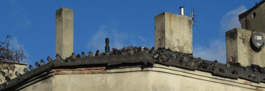 robaki w budynku - insekty od golebi